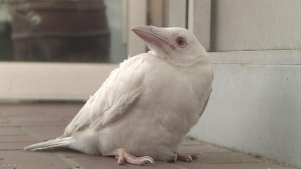 【画像】全身真っ白な珍しいカラスが捕獲されるwwww