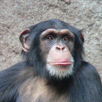 chimpanzee-animals-13168191-500-500