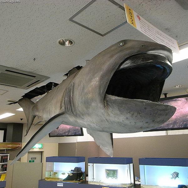 600px-Megamouth_shark_Megachasma_pelagios