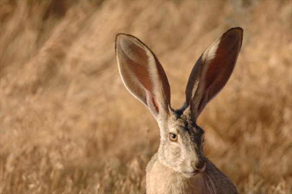 black-tailed-jackrabbit-close-up-face