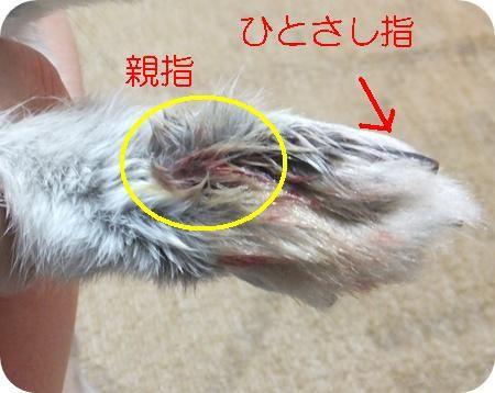 爪 折れ た うさぎ ウサギの爪が折れてしまって・・