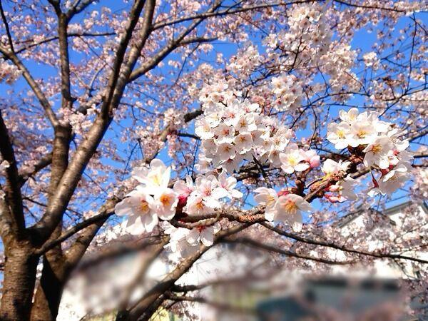 開花 2021 桜の 予想