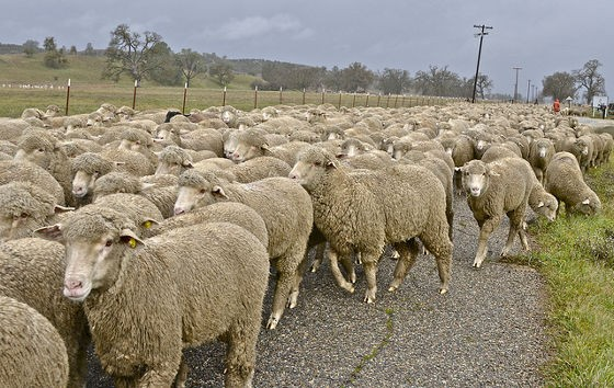 半分人間の姿をした羊が誕生! 悪魔の仕業だとして村中がパニックに陥るwwwwww