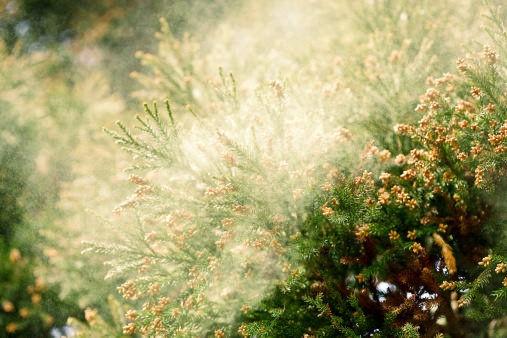 【悲報】 例年より多い花粉、飛散時期とピーク時期が発表される・・・・