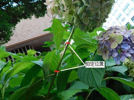 剪定 仕方 紫陽花 の アジサイ(紫陽花)の剪定 時期はいつ?切るべき枝と位置は? 🍀GreenSnap(グリーンスナップ)