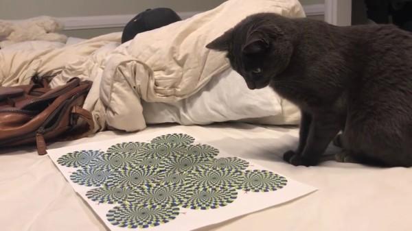 にゃんこが錯覚画像を見た反応が可愛すぎる! 動いてると錯覚して猫パンチ