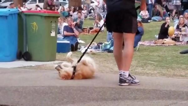 【動画】散歩が終わるのが嫌で死んだフリする犬 最終的に飼い主が勝ち周りから拍手喝采!
