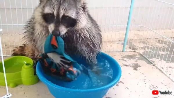 アライグマなぜ洗う