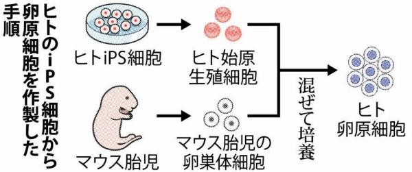【朗報】京都大学、遂に女さん無しで子供を作れる技術を開発してしまう