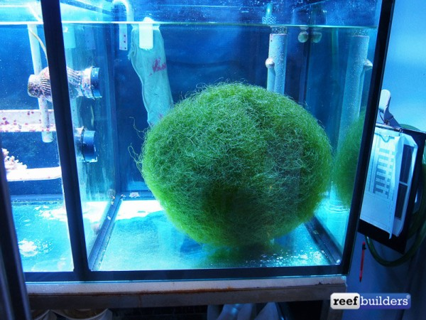 giant-ball-chaetomorpha-algae-1
