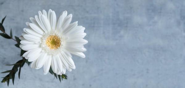 ガーベラ 白いガーベラ 花 白 開花 満開 白 高精細の画像 韓国はiphoneの壁紙素材を入力してください 壁紙