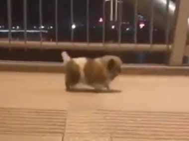 小さな子イヌが歩いていた。トコトコトコ♪ これは毛玉のオモチャですか? → いいえ、子犬です…