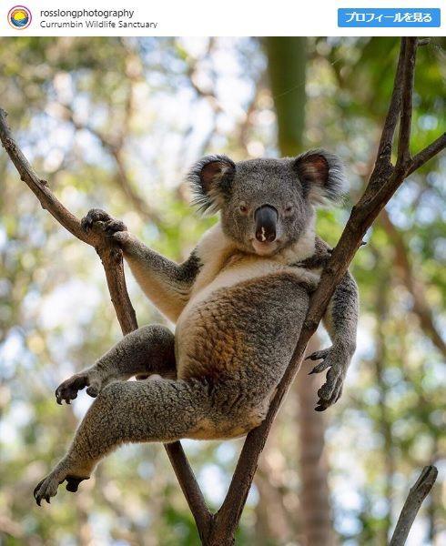【画像】セクシー過ぎると話題のコアラがこちらwwwwwwww