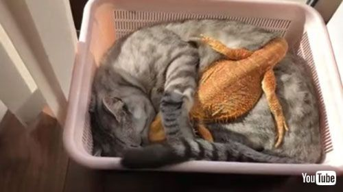【画像】離れたくないニャ!トカゲさんをぎゅっと抱きしめて寄り添う猫ちゃんがかわいいwwwwww