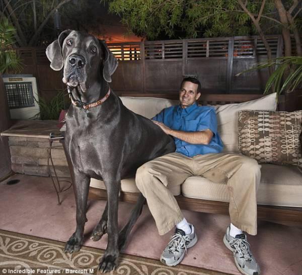 世界一大きい犬「グレート・デーン」デカすぎワロタwwwwwww