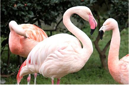 逃亡鳥列伝 (9) フラミンゴ余話 : スジエビの不思議