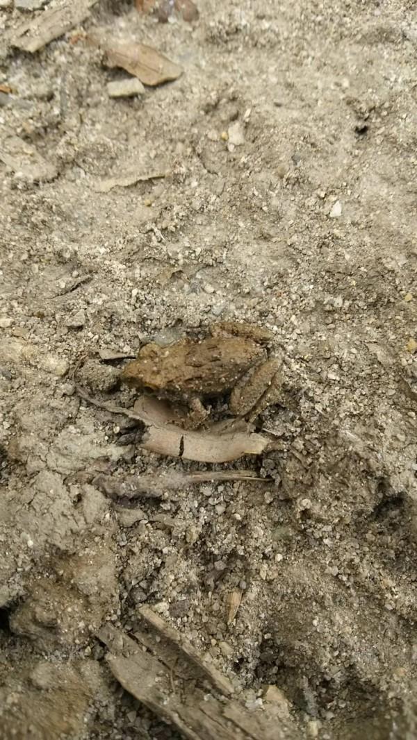 【緊急】ワイ、新種のカエルを発見してしまう (※画像あり)