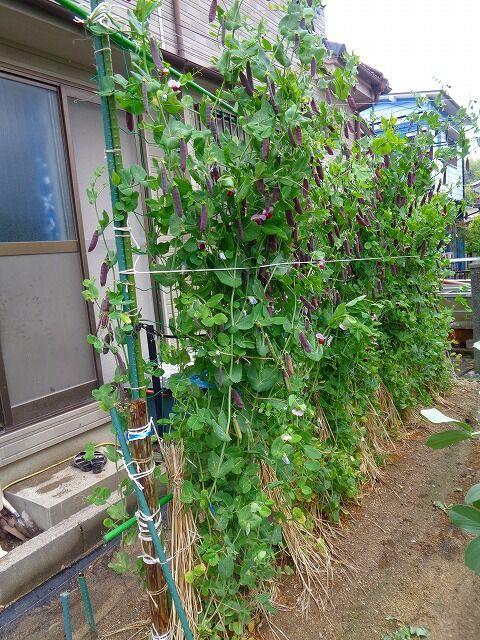 スナップ エンドウ 家庭 菜園