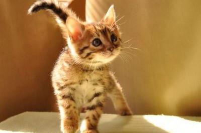 ペットショップの猫が「爪なしなのでお子様でも安全です」って…