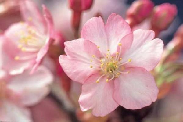 あの花って梅だっけ、桜だっけ?もしかして桃?となったときの見分け方・・・・・・