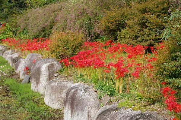 如意輪寺の彼岸花 : ハイキングさ あべじゃ