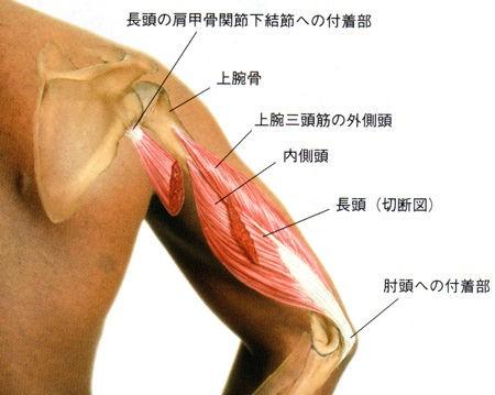 筋肉 頭 痛 上腕 二 筋