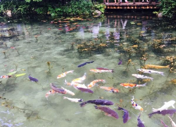 モネ の 池 今日